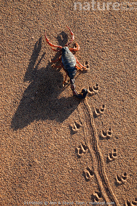 Black hairy thicktailed scorpion (Parabuthus villosus), Namib Desert, Namibia, April, Black,hairy,thicktailed,scorpion,Parabuthus,villosus,Namib,Desert,Namibia,Africa,African,wildlife,nature,dangerous,venomous,sting,Animal,Arthropod,Archnid,Scorpion,Fat tailed scorpion,Black hairy thick tailed scorpion,Animalia,Animal,Wildlife,Chelicerata,Arthropod,Chelicerate,Arthropoda,Archnida,Archnid,Scorpiones,Scorpion,Buthidae,Fat tailed scorpion,Parabuthus,Parabuthus villosus,Black hairy thick tailed scorpion,Africa,Southern Africa,Namibia,German Southwest Africa,South West Africa,Vertical,Desert,Deserts,Namib Desert,Habitat,Track,Tracks, Ann  & Steve Toon