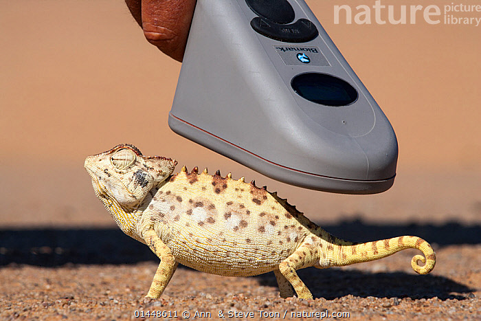 Namaqua chameleon (Chamaeleo namaquensis), being scanned for microchip, part of conservation project, Namib Desert, Namibia, April, catalogue6,Animal,Vertebrate,Reptile,Squamate,Chameleon,Chameleons,Desert chameleon,Animalia,Animal,Wildlife,Vertebrate,Chordate,Reptilia,Reptile,Squamata,Squamate,Chamaeleonidae,Chameleon,Lizard,Chamaeleo,Chameleons,Chamaeleo namaquensis,Desert chameleon,Chamaeleo capensis,Gesturing,Eyes Closed,Closed Eye,Closed Eyes,Eye Closed,Eye Shut,Eyes Shut,Shut Eyes,Waiting,People,Male,Man,Humorous,Patience,Research,Researching,1 Person,Single,Single Person,Part Of,Curly,Africa,Southern Africa,Namibia,South West Africa,Profile,Close Up,Side View,Tail,Hand,Equipment,Medical Equipment,Medical Tool,Medical Tools,Medical Imaging Machine,Medical Imaging Machines,Medical Scanner,Medical Scanners,Scanning,Desert,Deserts,Namib Desert,Outdoors,Open Air,Outside,Day,Science,Technology,Conservation,Namibian,Scanner,Microchip,Concepts, Ann  & Steve Toon