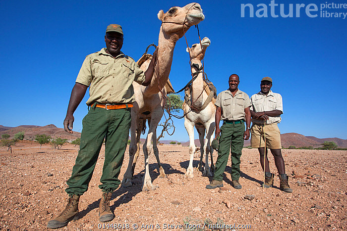 Save the Rhino Trust camel camp patrol teams Hans Ganaseb (left) and Dansiekie Ganaseb with Simson Uri-Khob (no hat) and camels, Kunene region, Namibia, May 2013  ,  catalogue6,Animal,Vertebrate,Mammal,Camelid,Camel,Dromedary camel,Odd toed ungulate,Rhinoceros,Black rhino,Black Rhinoceros,Animalia,Animal,Wildlife,Vertebrate,Chordate,Mammalia,Mammal,Artiodactyla,Even toed ungulates,Camelidae,Camelid,Tylopoda,Camelus,Camel,Camelus dromedarius,Dromedary camel,Domesitcated,domestic camel,Camelus aegyptiacus,Camelus dromas,Camelus ferus,Perissodactyla,Odd toed ungulate,Rhinocerotidae,Rhinoceros,Rhino,Diceros,Black rhino,Diceros bicornis,Black Rhinoceros,Hook lipped Rhinoceros,Standing,People,African Descent,Male,Man,Only Men,Research,Researching,Patrol,Patroling,Patrols,Two,Group,Group Of People,Small Group Of People,Few,Dry,Dried,Arid,Aridity,Parched,Scorched,Africa,Southern Africa,Namibia,South West Africa,Full Length,Full Lengths,Whole,Front View,View From Front,Riding Tack,Tack,Tacks,Rein,Leading Rein,Leading Reins,Reins,Desert,Deserts,Sky,Science,Domestic animal,Conservation,Domestic animals,Domesticated,Wildlife conservation,Two animals,Direct Gaze,Namibian,Blue sky,Animal Care,Ranger,Kunene Region,Endangered species,threatened,Critically endangered  ,  Ann  & Steve Toon