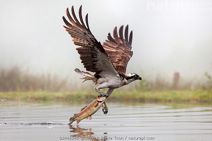Osprey (Pandion haliaetus) catching trout, Rothiemurchus estate, Cairngorms, Scotland, UK, July  ,  catalogue6,Animal,Vertebrate,Ray finned fish,Percomorphi,Salmonid,Trout,Birds,Osprey,Animalia,Animal,Wildlife,Vertebrate,Chordate,Actinopterygii,Ray finned fish,Osteichthyes,Bony fish,Fish,Perciformes,Percomorphi,Acanthopteri,Salmonidae,Salmonid,Salvelinus,Trout,Aves,Birds,Accipitriformes,Pandionidae,Osprey,Bird of prey,Raptor,Pandion,Pandion haliaetus,Flying,Direction,On The Move,Speed,Strength,Colour,Brown,Two,No One,Nobody,Europe,Western Europe,UK,Great Britain,Scotland,Highland,Close Up,Claw,Claws,Talon,Talons,Wing,Wings,Mist,Outdoors,Open Air,Outside,Day,Water Surface,Animal Behaviour,Predation,Hunting,Behaviour,Highlands of Scotland,Cairngorms,Flight,Wings spread,Wingspan,Two animals,Moving,United Kingdom  ,  Ann  & Steve Toon