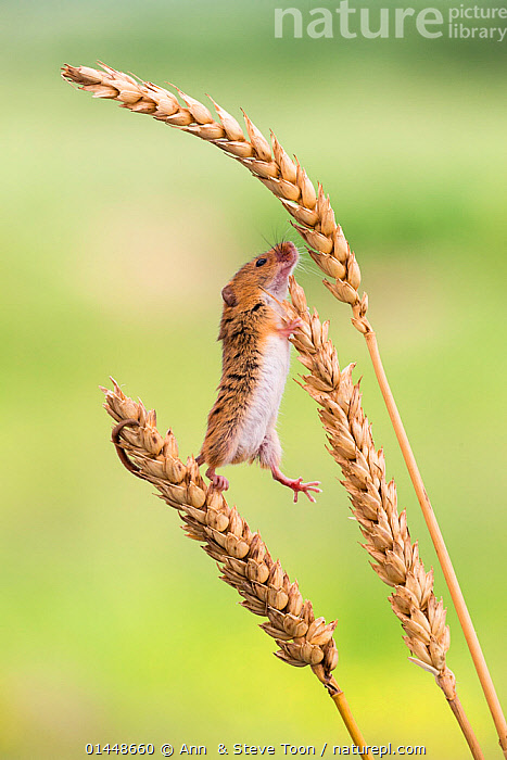 Harvest mouse (Micromys minutus), captive, UK, June., catalogue6,Animal,Vertebrate,Mammal,Rodent,Mouse,Eurasian Harvest Mouse,Animalia,Animal,Wildlife,Vertebrate,Chordate,Mammalia,Mammal,Rodentia,Rodent,Muridae,Micromys,Mouse,Micromys minutus,Eurasian Harvest Mouse,Harvest Mouse,Standing,Balance,Cute,Adorable,Humorous,No One,Nobody,Europe,Western Europe,UK,Great Britain,Vertical,Plant,Arable Plant,Arable Plants,Crops,Produce,Cultivated,Cultivation,Climbing,Standing on hind legs,Concepts,United Kingdom, Ann  & Steve Toon