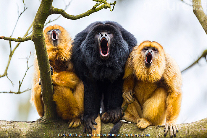 Black howler monkeys (Alouatta caraya) male and two females calling from tree, captive, Apenheul Park, Netherlands.  ,  catalogue6,Animal,Vertebrate,Mammal,Monkey,Howler Monkeys,Black and gold Howler Monkey,Animalia,Animal,Wildlife,Vertebrate,Chordate,Mammalia,Mammal,Primate,Primates,Atelidae,Monkey,New World Monkeys,Aloutta,Howler Monkeys,Alouttidae,Alouatta caraya,Black and gold Howler Monkey,Black Howler Monkey,Black Howling Monkey,Alouatta barbatus,Alouatta niger,Aloutta straminae,Vocalisation,Calling,Call,Howling,Howl,Crouching,Sitting,Seated,Sit,Sits,Sitting Down,Bizarre,Contrasts,Humorous,Noise,Loud,Noisey,Noisy,Sound,Colour,Black,Yellow,Side By Side,Few,Three,Group,No One,Nobody,Europe,Western Europe,The Netherlands,Holland,Netherlands,Full Length,Full Lengths,Whole,Horizontal,Close Up,Front View,View From Front,Female animal,Male Animal,Plant,Tree,Mouth,Animal Behaviour,Sexual dimorphism,Behaviour,Colour morphs,Direct Gaze,Three Animals,Open Mouth,Crouching down,Apenheul Park,Apenheul Park Zoo,Chorus,Concepts,Mammals  ,  Juan  Carlos Munoz