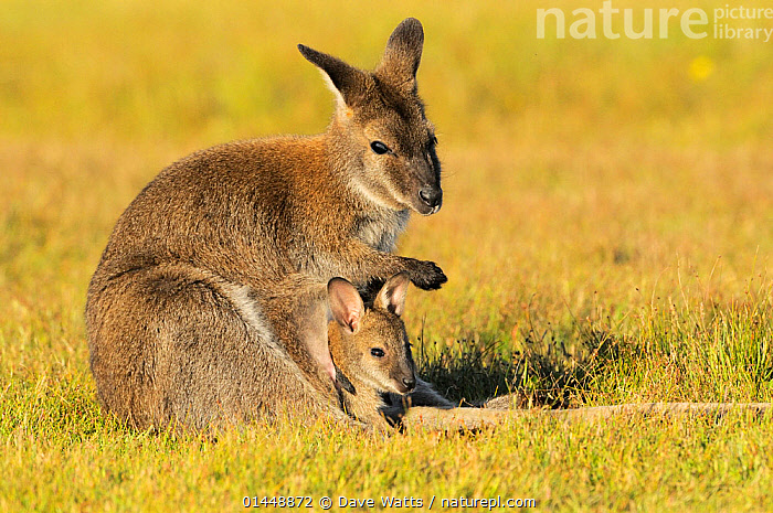 Bennett's Wallaby (Macropus rufogriseus) female with joey in pouch, Tasmania, Australia.  ,  Animal,Vertebrate,Mammal,Marsupial,Macropod,Bennett's Wallaby,Animalia,Animal,Wildlife,Vertebrate,Chordate,Mammalia,Mammal,Marsupialia,Marsupial,Macropodidae,Macropod,Macropus,Macropus rufogriseus,Bennett's Wallaby,Red necked Wallaby,Wallaby,Notamacropus,Horizontal,Portrait,Portraits,Young Animal,Juvenile,Juveniles,Young Animals,Babies,Baby Animals,Female Animal,Female,Females,Female Animals,Family,Mother baby,Mother baby,mother,Young  ,  Dave Watts