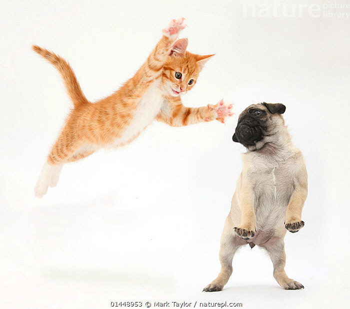 Ginger kitten leaping towards a Pug puppy. Digital composite. NOT AVAILABLE FOR BOOK USE  ,  catalogue6,Felis catus,Canis familiaris,Attacking,Jumping,Standing,Bizarre,Cute,Adorable,Revenge,Avenge,Avenging,Vengeance,Craziness,Crazy,Mid Air,Two,No One,Nobody,Pattern,Patterned,Patterns,Tabby,Tabby Pattern,Tabby Patterns,Terrify,Terror,Cutout,Full Length,Full Lengths,Whole,Plain Background,White Background,Close Up,Animal,Young Animal,Juvenile,Babies,Baby Mammal,Baby Mammals,Puppy,Puppies,Kitten,Kittens,Claw,Claws,Animal Behaviour,Playing,Domestic animal,Pet,Behaviour,Domestic Dog,Toy dog,Small dog,Pug,Domestic Cat,Cats,Domestic animals,Young,Domesticated,Play,Playful,Felis catus,Canis familiaris,Cat,Dog,Standing on hind legs,Baby,Two animals,Communication  ,  Mark Taylor