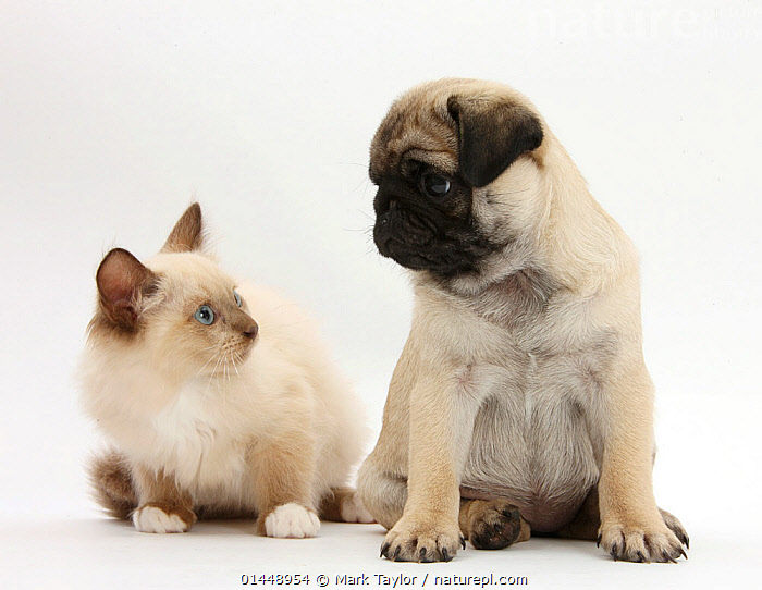 Fawn Pug puppy, aged 8 weeks, and Birman-cross kitten. NOT AVAILABLE FOR BOOK USE  ,  CUTE,ADORABLE,2 ANIMALS,CUT OUT,CUT OUTS,CUT OUT,CUT OUTS,CUTOUT,CUTOUTS,PLAIN BACKGROUND,WHITE BACKGROUND,PORTRAIT,PORTRAITS,ANIMAL,YOUNG ANIMAL,JUVENILE,JUVENILES,YOUNG ANIMALS,BABIES,BABY ANIMALS,BABY MAMMAL,BABY MAMMALS,PUPPY,PUPPIES,CROSSBREEDS,MIXED BREED,MIXED BREEDS,DOMESTIC ANIMAL,PET,DOG,TOY DOG,SMALL DOG,PUG,CAT,CATS,DOMESTIC ANIMALS,YOUNG,COMPANION ANIMALS,COMPANION ANIMAL,DOMESTICATED,FELIS CATUS,CANIS FAMILIARIS,FRIEND,FRIENDSHIP,FELIS CATUS,CANIS FAMILIARIS,Concepts  ,  Mark Taylor
