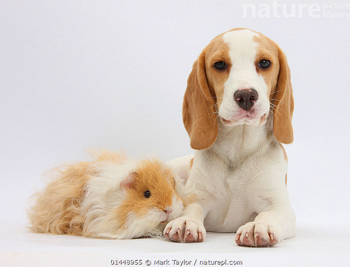 Orange-and-white Beagle puppy and alpaca Guinea pig. NOT AVAILABLE FOR BOOK USE  ,  CUTE,ADORABLE,2 ANIMALS,CUT OUT,CUT OUTS,CUT OUT,CUT OUTS,CUTOUT,CUTOUTS,PLAIN BACKGROUND,WHITE BACKGROUND,PORTRAIT,PORTRAITS,ANIMAL,YOUNG ANIMAL,JUVENILE,JUVENILES,YOUNG ANIMALS,BABIES,BABY ANIMALS,BABY MAMMAL,BABY MAMMALS,PUPPY,PUPPIES,DOMESTIC ANIMAL,PET,GUINEA PIG,DOG,HOUND,SCENTHOUND,SCENT HOUND,SCENT HOUNDS,MEDIUM DOG,BEAGLE,DOMESTIC ANIMALS,YOUNG,COMPANION ANIMALS,COMPANION ANIMAL,DOMESTICATED,CANIS FAMILIARIS,CAVIA PORCELLUS,FRIEND,FRIENDSHIP,CANIS FAMILIARIS,CAVIA PORCELLUS,Concepts  ,  Mark Taylor