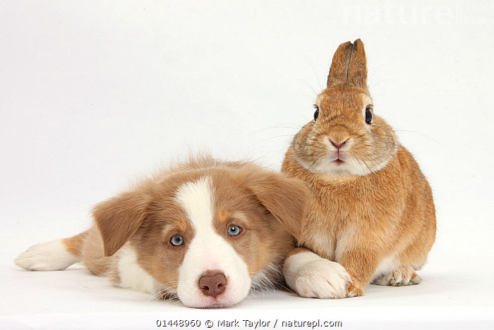 Lilac Border Collie puppy and Netherland dwarf-cross rabbit, Peter. NOT AVAILABLE FOR BOOK USE  ,  RESTING,REST,CUTE,ADORABLE,2 ANIMALS,CUT OUT,CUT OUTS,CUT OUT,CUT OUTS,CUTOUT,CUTOUTS,PLAIN BACKGROUND,WHITE BACKGROUND,PORTRAIT,PORTRAITS,ANIMAL,YOUNG ANIMAL,JUVENILE,JUVENILES,YOUNG ANIMALS,BABIES,BABY ANIMALS,BABY MAMMAL,BABY MAMMALS,PUPPY,PUPPIES,DOMESTIC ANIMAL,PET,DOG,PASTORAL DOG,MEDIUM DOG,COLLIE,RABBIT,DOMESTIC ANIMALS,YOUNG,COMPANION ANIMALS,COMPANION ANIMAL,DOMESTICATED,CANIS FAMILIARIS,ORYCTOLAGUS CUNICULUS,FRIEND,FRIENDSHIP,CANIS FAMILIARIS,ORYCTOLAGUS CUNICULUS,Concepts  ,  Mark Taylor