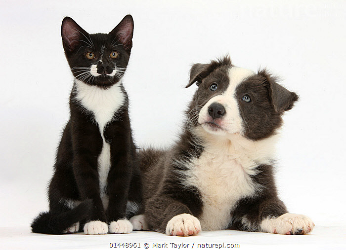 Blue-and-white Border Collie puppy and black-and-white tuxedo kitten 'Tuxie' 11 weeks. NOT AVAILABLE FOR BOOK USE  ,  CUTE,ADORABLE,COLOUR ,2 ANIMALS,CUT OUT,CUT OUTS,CUT OUT,CUT OUTS,CUTOUT,CUTOUTS,PLAIN BACKGROUND,WHITE BACKGROUND,PORTRAIT,PORTRAITS,ANIMAL,YOUNG ANIMAL,JUVENILE,JUVENILES,YOUNG ANIMALS,BABIES,BABY ANIMALS,BABY MAMMAL,BABY MAMMALS,PUPPY,PUPPIES,DOMESTIC ANIMAL,PET,DOG,PASTORAL DOG,MEDIUM DOG,COLLIE,CAT,CATS,DOMESTIC ANIMALS,YOUNG,COMPANION ANIMALS,COMPANION ANIMAL,DOMESTICATED,FELIS CATUS,CANIS FAMILIARIS,COLOR,COLOUR COORDINATED,COLOUR COORDINATION,FRIEND,FRIENDSHIP,FELIS CATUS,CANIS FAMILIARIS,Concepts  ,  Mark Taylor
