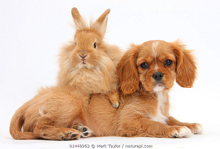 Cavalier King Charles Spaniel puppy 'Star' with Sandy rabbit. NOT AVAILABLE FOR BOOK USE  ,  CUTE,ADORABLE,2 ANIMALS,CUT OUT,CUT OUTS,CUT OUT,CUT OUTS,CUTOUT,CUTOUTS,PLAIN BACKGROUND,WHITE BACKGROUND,PORTRAIT,PORTRAITS,ANIMAL,YOUNG ANIMAL,JUVENILE,JUVENILES,YOUNG ANIMALS,BABIES,BABY ANIMALS,BABY MAMMAL,BABY MAMMALS,PUPPY,PUPPIES,DOMESTIC ANIMAL,PET,DOG,TOY DOG,SMALL DOG,CAVALIER KING CHARLES SPANIEL,RABBIT,DOMESTIC ANIMALS,YOUNG,COMPANION ANIMALS,COMPANION ANIMAL,DOMESTICATED,CANIS FAMILIARIS,ORYCTOLAGUS CUNICULUS,FRIEND,FRIENDSHIP,CANIS FAMILIARIS,ORYCTOLAGUS CUNICULUS,Concepts  ,  Mark Taylor