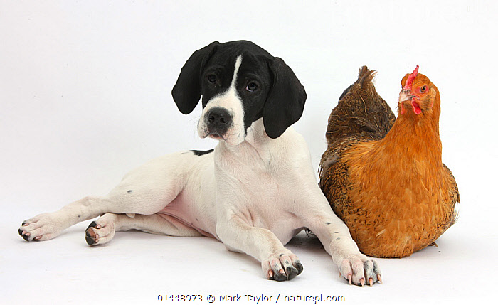 English Pointer puppy 'Isla' 10 weeks, with a chicken. NOT AVAILABLE FOR BOOK USE  ,  CUTE,ADORABLE,2 ANIMALS,CUT OUT,CUT OUTS,CUT OUT,CUT OUTS,CUTOUT,CUTOUTS,PLAIN BACKGROUND,WHITE BACKGROUND,PORTRAIT,PORTRAITS,ANIMAL,YOUNG ANIMAL,JUVENILE,JUVENILES,YOUNG ANIMALS,BABIES,BABY ANIMALS,BABY MAMMAL,BABY MAMMALS,PUPPY,PUPPIES,DOMESTIC ANIMAL,PET,DOG,GUN DOG,LARGE DOG,ENGLISH POINTER,DOMESTIC ANIMALS,YOUNG,COMPANION ANIMALS,COMPANION ANIMAL,DOMESTIC BIRDS,DOMESTIC BIRD,DOMESTICATED,CANIS FAMILIARIS,GALLUS GALLUS DOMESTICUS,FRIEND,FRIENDSHIP,CANIS FAMILIARIS,GALLUS GALLUS DOMESTICUS,Concepts  ,  Mark Taylor