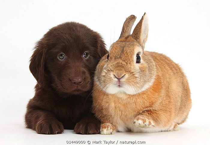 Liver Flatcoated Retriever puppy, 6 weeks, with Netherland Dwarf-cross rabbit, Peter. NOT AVAILABLE FOR BOOK USE  ,  CUTE,ADORABLE,2 ANIMALS,CUT OUT,CUT OUTS,CUT OUT,CUT OUTS,CUTOUT,CUTOUTS,PLAIN BACKGROUND,WHITE BACKGROUND,PORTRAIT,PORTRAITS,ANIMAL,YOUNG ANIMAL,JUVENILE,JUVENILES,YOUNG ANIMALS,BABIES,BABY ANIMALS,BABY MAMMAL,BABY MAMMALS,PUPPY,PUPPIES,DOMESTIC ANIMAL,PET,DOG,GUN DOG,LARGE DOG,FLAT COATED RETRIEVER,RABBIT,DOMESTIC ANIMALS,YOUNG,COMPANION ANIMALS,COMPANION ANIMAL,DOMESTICATED,CANIS FAMILIARIS,ORYCTOLAGUS CUNICULUS,FRIEND,FRIENDSHIP,BUNNY,CANIS FAMILIARIS,ORYCTOLAGUS CUNICULUS,Concepts  ,  Mark Taylor