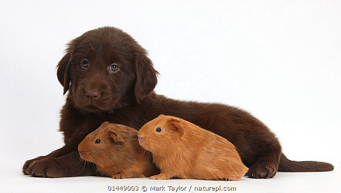 Liver Flatcoated Retriever puppy, 6 weeks, with two baby Guinea pigs. NOT AVAILABLE FOR BOOK USE  ,  CUTE,ADORABLE,CUT OUT,CUT OUTS,CUT OUT,CUT OUTS,CUTOUT,CUTOUTS,PLAIN BACKGROUND,WHITE BACKGROUND,PORTRAIT,PORTRAITS,ANIMAL,YOUNG ANIMAL,JUVENILE,JUVENILES,YOUNG ANIMALS,BABIES,BABY ANIMALS,BABY MAMMAL,BABY MAMMALS,PUPPY,PUPPIES,DOMESTIC ANIMAL,PET,GUINEA PIG,DOG,GUN DOG,LARGE DOG,FLAT COATED RETRIEVER,DOMESTIC ANIMALS,YOUNG,COMPANION ANIMALS,COMPANION ANIMAL,DOMESTICATED,CANIS FAMILIARIS,CAVIA PORCELLUS,FRIEND,FRIENDSHIP,CANIS FAMILIARIS,CAVIA PORCELLUS,Concepts  ,  Mark Taylor