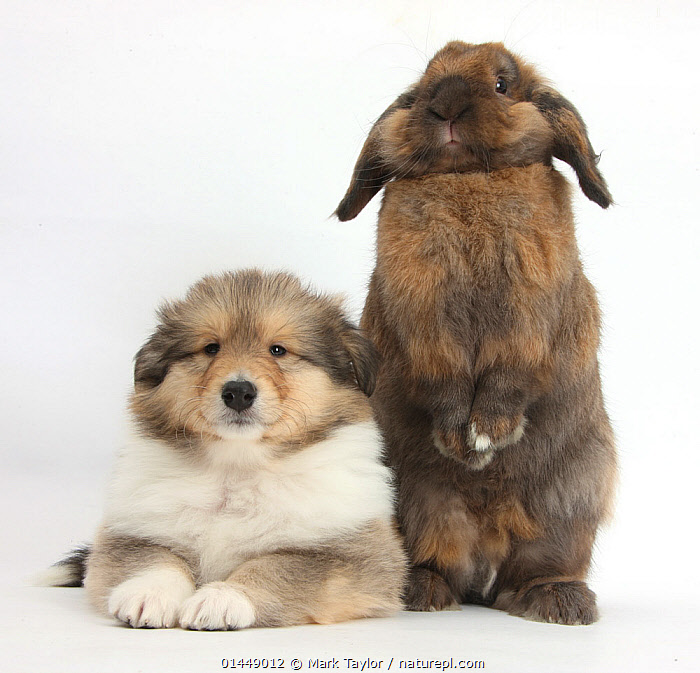 Sable Rough Collie puppy, 7 weeks, with Lionhead Lop rabbit, Dibdab. NOT AVAILABLE FOR BOOK USE  ,  STANDING,STAND,CUTE,ADORABLE,2 ANIMALS,CUT OUT,CUT OUTS,CUT OUT,CUT OUTS,CUTOUT,CUTOUTS,PLAIN BACKGROUND,WHITE BACKGROUND,PORTRAIT,PORTRAITS,ANIMAL,YOUNG ANIMAL,JUVENILE,JUVENILES,YOUNG ANIMALS,BABIES,BABY ANIMALS,BABY MAMMAL,BABY MAMMALS,PUPPY,PUPPIES,DOMESTIC ANIMAL,PET,RABBIT,DOMESTIC ANIMALS,YOUNG,COMPANION ANIMALS,COMPANION ANIMAL,DOMESTICATED,FRIEND,FRIENDSHIP,Concepts  ,  Mark Taylor