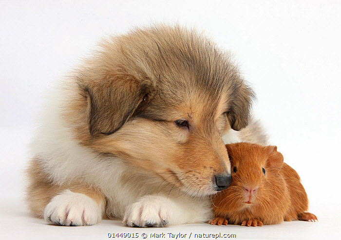 Sable Rough Collie puppy and baby red Guinea pig. NOT AVAILABLE FOR BOOK USE  ,  CUTE,ADORABLE,2 ANIMALS,CUT OUT,CUT OUTS,CUT OUT,CUT OUTS,CUTOUT,CUTOUTS,PLAIN BACKGROUND,WHITE BACKGROUND,PORTRAIT,PORTRAITS,ANIMAL,YOUNG ANIMAL,JUVENILE,JUVENILES,YOUNG ANIMALS,BABIES,BABY ANIMALS,BABY MAMMAL,BABY MAMMALS,PUPPY,PUPPIES,DOMESTIC ANIMAL,PET,GUINEA PIG,DOG,PASTORAL DOG,MEDIUM DOG,COLLIE,DOMESTIC ANIMALS,YOUNG,COMPANION ANIMALS,COMPANION ANIMAL,LONG HAIRED COLLIE,ROUGH COLLIE,DOMESTICATED,CANIS FAMILIARIS,CAVIA PORCELLUS,FRIEND,FRIENDSHIP,CANIS FAMILIARIS,CAVIA PORCELLUS,Concepts  ,  Mark Taylor