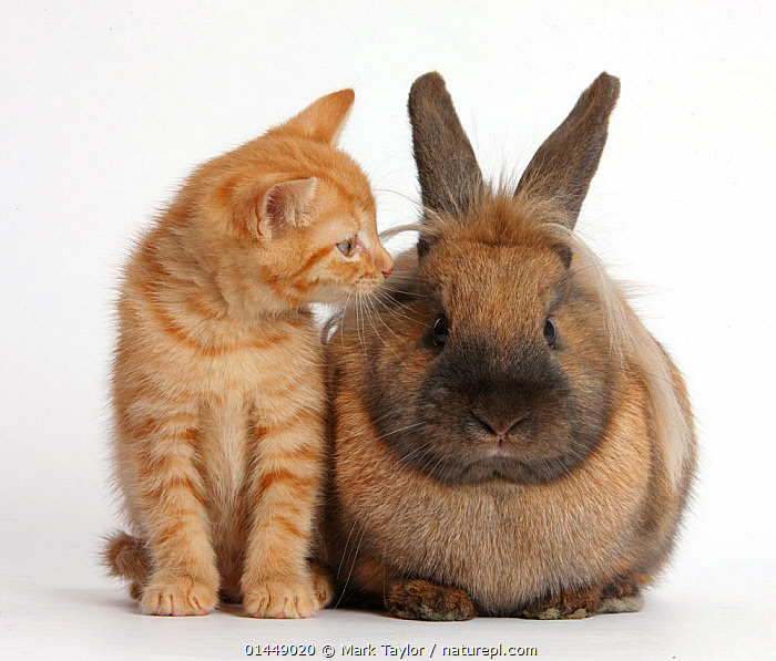 Ginger kitten and Lionhead-cross rabbit. NOT AVAILABLE FOR BOOK USE  ,  CUTE,ADORABLE,CUT OUT,CUT OUTS,CUT OUT,CUT OUTS,CUTOUT,CUTOUTS,PLAIN BACKGROUND,WHITE BACKGROUND,PORTRAIT,PORTRAITS,ANIMAL,YOUNG ANIMAL,JUVENILE,JUVENILES,YOUNG ANIMALS,BABIES,BABY ANIMALS,BABY MAMMAL,BABY MAMMALS,KITTEN,KITTENS,DOMESTIC ANIMAL,PET,RABBIT,DOMESTIC ANIMALS,YOUNG,COMPANION ANIMALS,COMPANION ANIMAL,DOMESTICATED,ORYCTOLAGUS CUNICULUS,FRIEND,FRIENDSHIP,BUNNY,ORYCTOLAGUS CUNICULUS,Concepts  ,  Mark Taylor
