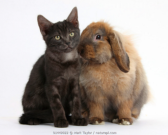 Smoke black kitten and Lionhead-Lop rabbit, Dibdab. NOT AVAILABLE FOR BOOK USE  ,  CUTE,ADORABLE,2 ANIMALS,CUT OUT,CUT OUTS,CUT OUT,CUT OUTS,CUTOUT,CUTOUTS,PLAIN BACKGROUND,WHITE BACKGROUND,PORTRAIT,PORTRAITS,ANIMAL,YOUNG ANIMAL,JUVENILE,JUVENILES,YOUNG ANIMALS,BABIES,BABY ANIMALS,BABY MAMMAL,BABY MAMMALS,KITTEN,KITTENS,DOMESTIC ANIMAL,PET,CAT,CATS,RABBIT,DOMESTIC ANIMALS,YOUNG,COMPANION ANIMALS,COMPANION ANIMAL,DOMESTICATED,FELIS CATUS,ORYCTOLAGUS CUNICULUS,FRIEND,FRIENDSHIP,BUNNY,FELIS CATUS,ORYCTOLAGUS CUNICULUS,Concepts  ,  Mark Taylor