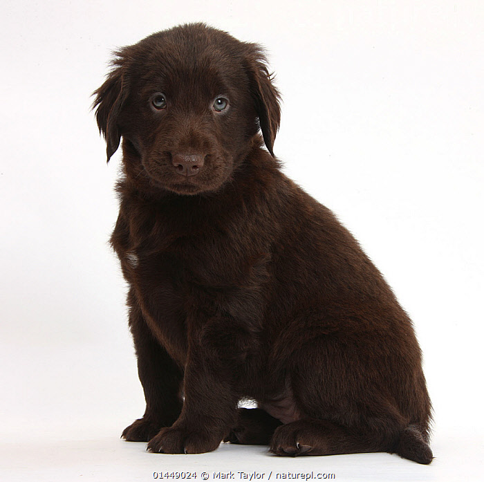 RF- Liver Flatcoated Retriever puppy, 6 weeks, sitting. (This image may be licensed either as rights managed or royalty free.)  ,  White background,,Canis familiaris,Sitting,Anticipation,Cute,Adorable,Sadness,Colour,Brown,Nobody,Cutout,Plain Background,White Background,Portrait,Animal,Young Animal,Juvenile,Babies,Baby Mammal,Puppy,Hair,Fur,Indoors,Studio Shot,Domestic animal,Pet,Domestic Dog,Gun dog,Large dog,Flat-Coated Retriever,Domesticated,Canis familiaris,Dog,Direct Gaze,Mammal,Animal Hair,RF,Royalty free,RFCAT1,RF17Q1,  ,  Mark Taylor