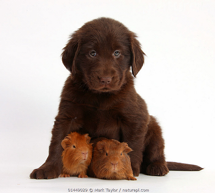 Liver Flatcoated Retriever puppy, 6 weeks, with two baby Guinea pigs. NOT AVAILABLE FOR BOOK USE  ,  catalogue6,Canis familiaris,Cavia porcellus,Cute,Adorable,Protection,Rejection,Few,Three,Group,No One,Nobody,Cutout,Plain Background,White Background,Close Up,Portrait,Animal,Young Animal,Juvenile,Babies,Baby Mammal,Baby Mammals,Puppy,Puppies,Social Issue,Conduct,Social,Social Issues,Adoption,Adoptions,Domestic animal,Pet,Domestic Guinea Pig,Domestic Dog,Gun dog,Large dog,Flat Coated Retriever,Domestic animals,Young,Domesticated,Canis familiaris,Cavia porcellus,Dog,Guinea Pig,Baby,Direct Gaze,Three Animals  ,  Mark Taylor