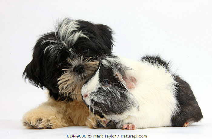 Black-and-white Shih-tzu puppy and Guinea pig. NOT AVAILABLE FOR BOOK USE  ,  CUTE,ADORABLE,COLOUR ,2 ANIMALS,CUT OUT,CUT OUTS,CUT OUT,CUT OUTS,CUTOUT,CUTOUTS,PLAIN BACKGROUND,WHITE BACKGROUND,PORTRAIT,PORTRAITS,ANIMAL,YOUNG ANIMAL,JUVENILE,JUVENILES,YOUNG ANIMALS,BABIES,BABY ANIMALS,BABY MAMMAL,BABY MAMMALS,PUPPY,PUPPIES,ANIMAL BEHAVIOUR,INTERACTIONS,DOMESTIC ANIMAL,PET,BEHAVIOUR,GUINEA PIG,DOMESTIC ANIMALS,YOUNG,COMPANION ANIMALS,COMPANION ANIMAL,DOMESTICATED,CAVIA PORCELLUS,COLOR,COLOUR COORDINATED,COLOUR COORDINATION,FRIEND,FRIENDSHIP,CAVIA PORCELLUS,Concepts  ,  Mark Taylor