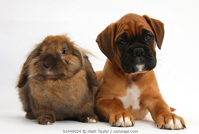 Boxer puppy, Boris, 12 weeks, with Lionhead-Lop rabbit, Dibdab. NOT AVAILABLE FOR BOOK USE  ,  CUTE,ADORABLE,2 ANIMALS,CUT OUT,CUT OUTS,CUT OUT,CUT OUTS,CUTOUT,CUTOUTS,PLAIN BACKGROUND,WHITE BACKGROUND,PORTRAIT,PORTRAITS,ANIMAL,YOUNG ANIMAL,JUVENILE,JUVENILES,YOUNG ANIMALS,BABIES,BABY ANIMALS,BABY MAMMAL,BABY MAMMALS,PUPPY,PUPPIES,DOMESTIC ANIMAL,PET,DOG,WORKING DOG,LARGE DOG,RABBIT,DOMESTIC ANIMALS,YOUNG,BOXER,COMPANION ANIMALS,COMPANION ANIMAL,DOMESTICATED,CANIS FAMILIARIS,ORYCTOLAGUS CUNICULUS,FRIEND,FRIENDSHIP,BUNNY,CANIS FAMILIARIS,ORYCTOLAGUS CUNICULUS,Concepts  ,  Mark Taylor