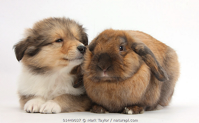 Sable Rough Collie puppy, 7 weeks, with Lionhead Lop rabbit, Dibdab. NOT AVAILABLE FOR BOOK USE  ,  CUTE,ADORABLE,2 ANIMALS,CUT OUT,CUT OUTS,CUT OUT,CUT OUTS,CUTOUT,CUTOUTS,PLAIN BACKGROUND,WHITE BACKGROUND,PORTRAIT,PORTRAITS,ANIMAL,YOUNG ANIMAL,JUVENILE,JUVENILES,YOUNG ANIMALS,BABIES,BABY ANIMALS,BABY MAMMAL,BABY MAMMALS,PUPPY,PUPPIES,DOMESTIC ANIMAL,PET,DOG,PASTORAL DOG,MEDIUM DOG,COLLIE,RABBIT,DOMESTIC ANIMALS,YOUNG,COMPANION ANIMALS,COMPANION ANIMAL,LONG HAIRED COLLIE,ROUGH COLLIE,DOMESTICATED,CANIS FAMILIARIS,ORYCTOLAGUS CUNICULUS,FRIEND,FRIENDSHIP,BUNNY,CANIS FAMILIARIS,ORYCTOLAGUS CUNICULUS,Concepts  ,  Mark Taylor