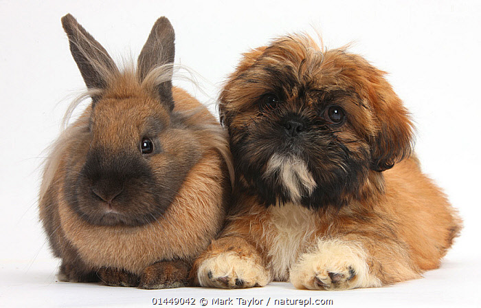 Brown Shih-tzu puppy and rabbit. NOT AVAILABLE FOR BOOK USE  ,  CUTE,ADORABLE,2 ANIMALS,CUT OUT,CUT OUTS,CUT OUT,CUT OUTS,CUTOUT,CUTOUTS,PLAIN BACKGROUND,WHITE BACKGROUND,PORTRAIT,PORTRAITS,ANIMAL,YOUNG ANIMAL,JUVENILE,JUVENILES,YOUNG ANIMALS,BABIES,BABY ANIMALS,BABY MAMMAL,BABY MAMMALS,PUPPY,PUPPIES,DOMESTIC ANIMAL,PET,DOG,TOY DOG,SMALL DOG,SHIH TZU,RABBIT,DOMESTIC ANIMALS,YOUNG,COMPANION ANIMALS,COMPANION ANIMAL,DOMESTICATED,CANIS FAMILIARIS,ORYCTOLAGUS CUNICULUS,FRIEND,FRIENDSHIP,BUNNY,CANIS FAMILIARIS,ORYCTOLAGUS CUNICULUS,Concepts  ,  Mark Taylor
