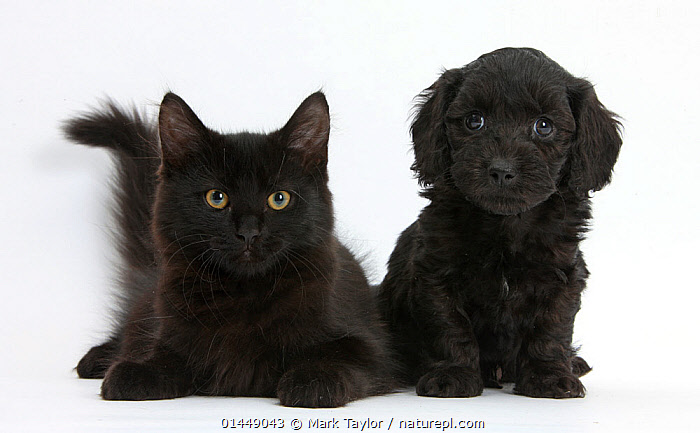 Black Maine Coon kitten and cute Doxiedoodle puppy. NOT AVAILABLE FOR BOOK USE, catalogue6,Felis catus,Cute,Adorable,Equality,Equal,Relationship,Friendship,Partnership,Colour,Black,Side By Side,Two,No One,Nobody,Cutout,Plain Background,White Background,Close Up,Front View,View From Front,Side View,Portrait,Animal,Young Animal,Juvenile,Babies,Baby Mammal,Baby Mammals,Puppy,Puppies,Crossbreed,Crossbreeds,Mixed Breed,Mixed Breeds,Indoors,Studio Shot,Studio Shots,Domestic animal,Pet,Domestic Cat,Cats,Maine Coon,Domestic animals,Young,Domesticated,Designer breeds,Poodle cross,Doxiepoo,Felis catus,Colour Coordinated,Cat,Baby,Two animals,Direct Gaze,Concepts, Mark Taylor