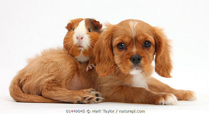 Cavalier King Charles Spaniel puppy, Star, with Guinea pig, Amelia. NOT AVAILABLE FOR BOOK USE  ,  CUTE,ADORABLE,2 ANIMALS,CUT OUT,CUT OUTS,CUT OUT,CUT OUTS,CUTOUT,CUTOUTS,PLAIN BACKGROUND,WHITE BACKGROUND,PORTRAIT,PORTRAITS,ANIMAL,YOUNG ANIMAL,JUVENILE,JUVENILES,YOUNG ANIMALS,BABIES,BABY ANIMALS,BABY MAMMAL,BABY MAMMALS,PUPPY,PUPPIES,DOMESTIC ANIMAL,PET,GUINEA PIG,DOG,TOY DOG,SMALL DOG,CAVALIER KING CHARLES SPANIEL,DOMESTIC ANIMALS,YOUNG,COMPANION ANIMALS,COMPANION ANIMAL,DOMESTICATED,CANIS FAMILIARIS,CAVIA PORCELLUS,FRIEND,FRIENDSHIP,CANIS FAMILIARIS,CAVIA PORCELLUS,Concepts  ,  Mark Taylor