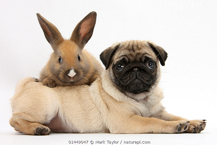 Fawn Pug puppy, 8 weeks, and young rabbit. NOT AVAILABLE FOR BOOK USE  ,  CUTE,ADORABLE,2 ANIMALS,CUT OUT,CUT OUTS,CUT OUT,CUT OUTS,CUTOUT,CUTOUTS,PLAIN BACKGROUND,WHITE BACKGROUND,PORTRAIT,PORTRAITS,ANIMAL,YOUNG ANIMAL,JUVENILE,JUVENILES,YOUNG ANIMALS,BABIES,BABY ANIMALS,BABY MAMMAL,BABY MAMMALS,PUPPY,PUPPIES,DOMESTIC ANIMAL,PET,DOG,TOY DOG,SMALL DOG,PUG,DOMESTIC ANIMALS,YOUNG,COMPANION ANIMALS,COMPANION ANIMAL,DOMESTICATED,CANIS FAMILIARIS,FRIEND,FRIENDSHIP,CANIS FAMILIARIS,Concepts  ,  Mark Taylor