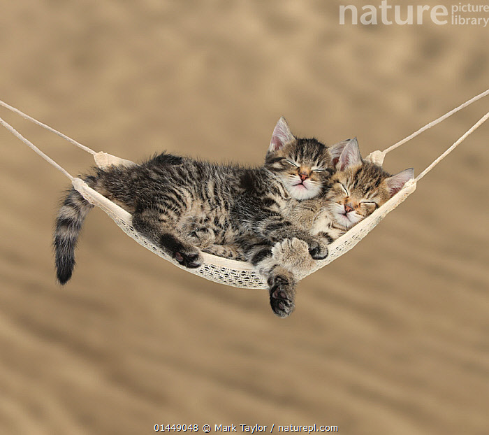 Two cute tabby kittens, Stanley and Fosset, 7 weeks, sleeping in a hammock.  ,  catalogue6,Felis catus,Hanging,Resting,Rest,Sleeping,Cute,Adorable,Relaxation,Togetherness,Close,Together,Two,No One,Nobody,Pattern,Patterned,Patterns,Tabby,Tabby Pattern,Tabby Patterns,Full Length,Full Lengths,Whole,Portrait,Animal,Young Animal,Juvenile,Babies,Baby Mammal,Baby Mammals,Kitten,Kittens,Furnishing,Furniture,Sleeping Furniture,Hammock,Hammocks,Outdoors,Open Air,Outside,Day,Domestic animal,Pet,Domestic Cat,Cats,Domestic animals,Young,Domesticated,Felis catus,Cat,Baby,Two animals,comfort,Comfortable  ,  Mark Taylor