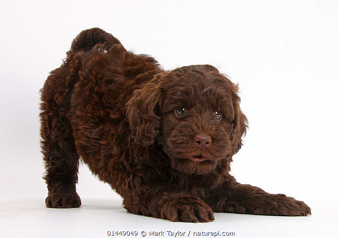 Cute chocolate Toy Goldendoodle puppy in play-bow., catalogue6,Stretching,Anticipation,Cute,Adorable,Preparation,Colour,Brown,No One,Nobody,Cutout,Plain Background,White Background,Close Up,Portrait,Animal,Young Animal,Juvenile,Babies,Baby Mammal,Baby Mammals,Puppy,Puppies,Crossbreed,Crossbreeds,Mixed Breed,Mixed Breeds,Indoors,Studio Shot,Studio Shots,Animal Behaviour,Playing,Domestic animal,Pet,Behaviour,Domestic animals,Young,Domesticated,Designer breeds,Poodle cross,Goldendoodle,Play,Playful,Baby,Communication, Mark Taylor