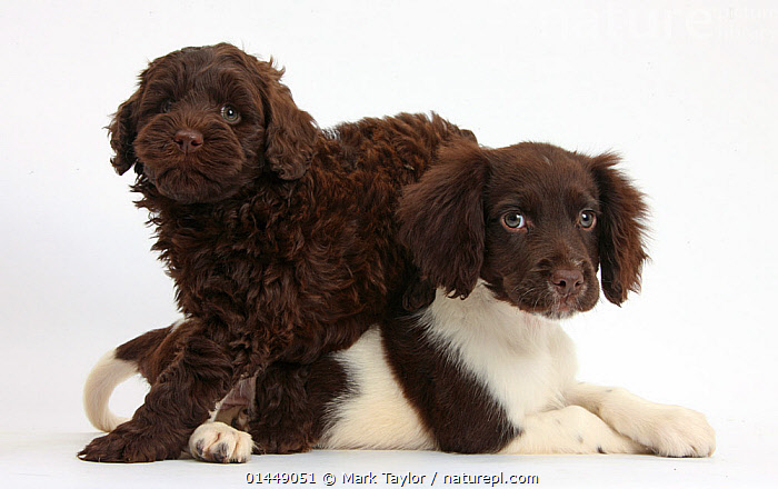 Chocolate-and-white Cocker Spaniel puppy and chocolate Goldendoodle puppy. NOT AVAILABLE FOR BOOK USE  ,  CUTE,ADORABLE,2 ANIMALS,CUT OUT,CUT OUTS,CUT OUT,CUT OUTS,CUTOUT,CUTOUTS,PLAIN BACKGROUND,WHITE BACKGROUND,PORTRAIT,PORTRAITS,ANIMAL,YOUNG ANIMAL,JUVENILE,JUVENILES,YOUNG ANIMALS,BABIES,BABY ANIMALS,BABY MAMMAL,BABY MAMMALS,PUPPY,PUPPIES,CROSSBREEDS,MIXED BREED,MIXED BREEDS,DOMESTIC ANIMAL,PET,DOG,GUN DOG,MEDIUM DOG,COCKER SPANIEL,DOMESTIC ANIMALS,YOUNG,COMPANION ANIMALS,COMPANION ANIMAL,DOMESTICATED,CANIS FAMILIARIS,FRIEND,FRIENDSHIP,CANIS FAMILIARIS,Concepts  ,  Mark Taylor