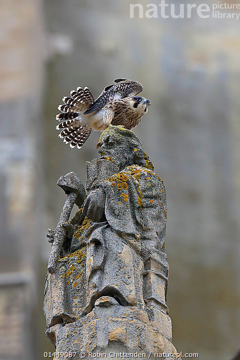 Peregrine falcon (Falco peregrinus) on statue's head, Norwich Cathedral, Norfolk, UK, June  ,  catalogue6,Animal,Vertebrate,Birds,Birds of prey,Falcon,Peregrine falcon,Animalia,Animal,Wildlife,Vertebrate,Chordate,Aves,Birds,Falconiformes,Birds of prey,Raptor,Falconidae,Falco,Falcon,Falco peregrinus,Peregrine falcon,No One,Nobody,Europe,Western Europe,UK,Great Britain,England,Norfolk,Norwich,Vertical,Close Up,Low Angle View,Portrait,Human Figure,Human Likeness,Male Likeness,Male Representation,Feather,Feathers,Tail,Object,Art,Sculpture,Sculptures,Statue,Equipment,Work Tool,Tool,Tools,Work Tools,Hand Tool,Axe,Axes,Building,Church,Churches,Cathedral,Cathedrals,Outdoors,Open Air,Outside,Day,History,Religion,Christianity,Plumage,Tail Feather,The Past,United Kingdom  ,  Robin Chittenden