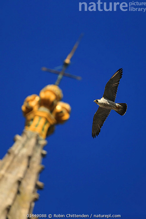 Peregrine falcon (Falco peregrinus) flying past spire, Norwich Cathedral, Norfolk, UK, June.  ,  catalogue6,Animal,Vertebrate,Birds,Birds of prey,Falcon,Peregrine falcon,Animalia,Animal,Wildlife,Vertebrate,Chordate,Aves,Birds,Falconiformes,Birds of prey,Raptor,Falconidae,Falco,Falcon,Falco peregrinus,Peregrine falcon,Flying,No One,Nobody,Europe,Western Europe,UK,Great Britain,England,Norfolk,Norwich,Vertical,Close Up,Low Angle View,Camera Focus,Selective Focus,Focus On Foreground,Focus On Foregrounds,Wing,Wings,Building,Roof Element,Roof Elements,Steeple,Steeples,Spire,Spires,Church,Churches,Cathedral,Cathedrals,Sky,Outdoors,Open Air,Outside,Day,Religion,Christianity,Flight,Ventral view,Underside,Wings spread,Wingspan,Shallow depth of field,Low depth of field,Blue sky,One Object,High Section,United Kingdom  ,  Robin Chittenden