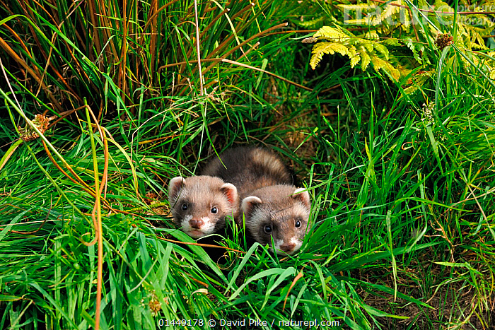 Two European polecat kittens (Mustela putorius) in grass, West Country Wildlife Photography Centre, captive, July.  ,  catalogue6,Animal,Vertebrate,Mammal,Carnivore,Mustelid,European polecat,Animalia,Animal,Wildlife,Vertebrate,Chordate,Mammalia,Mammal,Carnivora,Carnivore,Mustelidae,Mustelid,Mustela,Mustela putorius,European polecat,Black polecat,Forest polecat,Lost,Side By Side,Two,No One,Nobody,Close Up,High Angle View,Young Animal,Juvenile,Plant,Grass Family,Grass,Grasses,Outdoors,Open Air,Outside,Day,Young,Elevated view,Two animals,Direct Gaze,West Country,Plants  ,  David Pike