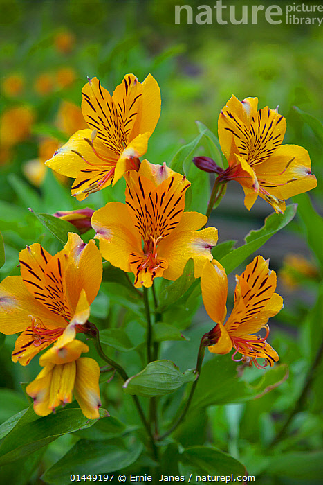 Alstroemeria 'Golden Delight' / Peruvian lily, in flower in garden, UK, July.  ,  Plant,Vascular plant,Flowering plant,Monocot,Peruvian lily,Peruvian lilies,Lily of the Incas,Plantae,Plant,Tracheophyta,Vascular plant,Magnoliopsida,Flowering plant,Angiosperm,Seed plant,Spermatophyte,Spermatophytina,Angiospermae,Liliales,Monocot,Monocotyledon,Lilianae,Alstroemeriaceae,Europe,Western Europe,West Europe,UK,Britain,Great Britain,United Kingdom,England,Plants,Vegetation,Cultivated,Cultivation,Peruvian lily,Peruvian lilies,Lily of the Incas  ,  Ernie  Janes
