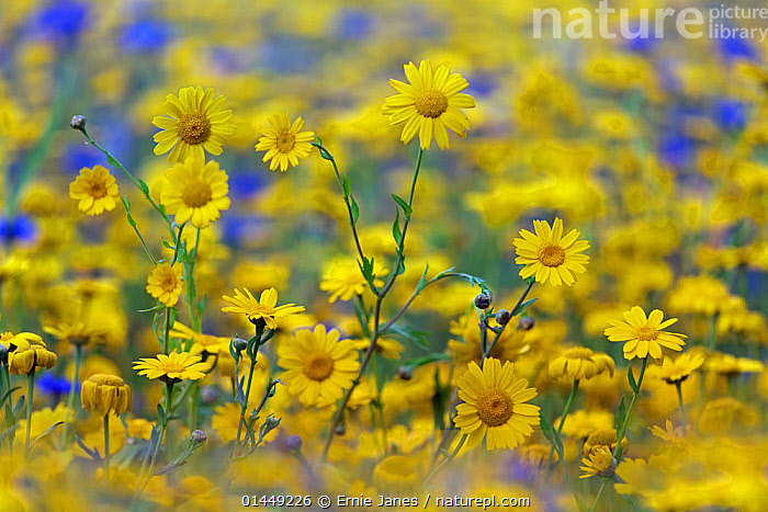 RF- Corn Marigold (Chrysanthemum segetum) and Cornflowers (Centaurea) in flower, July. England, UK. (This image may be licensed either as rights managed or royalty free.)  ,  Plant,Vascular plant,Flowering plant,Asterid,Knapweed,Corn marigold,Plantae,Plant,Tracheophyta,Vascular plant,Magnoliopsida,Flowering plant,Angiosperm,Seed plant,Spermatophyte,Spermatophytina,Angiospermae,Asterales,Asterid,Dicot,Dicotyledon,Asteranae,Asteraceae,Compositae,Centaurea,Knapweed,Star thistle,Glebonis,Glebionis segetum,Corn marigold,Corn daisy,Corndaisy,Chrysanthemum segetum,Growth,Optimism,Optimistic,Colour,Yellow,Nobody,Vibrant Colour,Europe,Western Europe,UK,Great Britain,England,Close Up,Camera Focus,Selective Focus,Focus On Foreground,Flower,Outdoors,Season,Summer,Shallow depth of field,Low depth of field,RF,Royalty free,RFCAT1,RF17Q1,  ,  Ernie  Janes