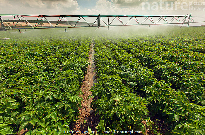 Irrigation on potato field, Norfolk, UK, July  ,  catalogue6,Watering,No One,Nobody,Europe,Western Europe,UK,Great Britain,England,Norfolk,Diminishing Perspective,Plant,Arable Plant,Arable Plants,Crops,Produce,Cultivated,Cultivation,Leaf,Foliage,Potato Plant,Potato Plants,Farms,Arable Farms,Building,Infrastructure,Water Management Infrastructure,Water Management Infrastructures,Water Supply Structure,Water Supply Structures,Irrigation,Irrigation Structures,Irrigation Systems,Cultivated Land,Fields,Outdoors,Open Air,Outside,Day,Agriculture,Farmland,Water spray,United Kingdom  ,  Ernie  Janes