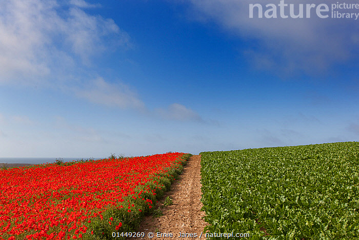 Field Poppies Pavaver rhoea and Sugar beet crop in Norfolk Field UK July  ,  catalogue6,Plant,Vascular plant,Flowering plant,Dicot,Poppy,Pigweed,Beet,Beet plant,Plantae,Plant,Tracheophyta,Vascular plant,Magnoliopsida,Flowering plant,Angiosperm,Seed plant,Spermatophyte,Spermatophytina,Angiospermae,Caryophyllales,Dicot,Dicotyledon,Caryophyllanae,Centrospermae,Ranunculales,Ranunculanae,Papaveraceae,Fumariaceae,Papaver,Poppy,Stylomecon,Amaranthaceae,Pigweed,Chenopodiaceae,Beta,Beet,Beta vulgaris,Beet plant,Common beet,Beetroot,Beta maritima,Beta crispa,Contrasts,Divide,Divided,Division,No One,Nobody,Europe,Western Europe,UK,Great Britain,England,Norfolk,Diminishing Perspective,Arable Plant,Arable Plants,Crops,Produce,Cultivated,Cultivation,Flower,Poppies,Path,Footpath,Footpaths,Paths,Trail,Trails,Horizon,Horizon Over Land,Horizons Over Land,Cultivated Land,Fields,Sky,Cloud,Outdoors,Open Air,Outside,Summer,Day,Farmland,Edible,Crop,Crops,Vegetable,Vegetables,United Kingdom  ,  Ernie  Janes