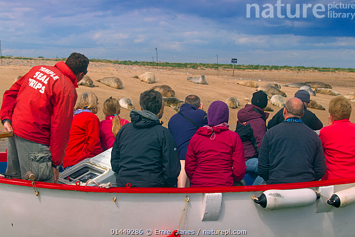 Boat full of people watching Common Seals (Phoca vitulina) on sand bank at Blakeney Point, Norfolk, August 2013., catalogue6,Animal,Vertebrate,Mammal,Carnivore,True seal,Common Seal,Animalia,Animal,Wildlife,Vertebrate,Chordate,Mammalia,Mammal,Carnivora,Carnivore,Phocidae,True seal,Pinnipeds,pinnipedia,Phoca,Phoca vitulina,Common Seal,Harbor Seal,Harbour Seal,Sitting,Seated,Sit,Sits,Sitting Down,People,Adult,Adults,Mature Adult,Mature Adults,Middle Age,Middle Aged,Middle Age,Middle Aged,Female,Woman,Male,Man,Colour,Colourful,Colorful,Many,Group,Large Group,Group Of People,Medium Group Of People,Waterproof,Europe,Western Europe,UK,Great Britain,England,Norfolk,Rear View,Back,From Behind,Boat,Boats,Recreational Boat,Pleasure Boat,Pleasure Boats,Recreational Boats,Tour Boat,Sightseeing Boat,Sightseeing Boats,Tour Boats,Tourboat,Tourboats,Beach,Sands,Outdoors,Open Air,Outside,Day,Travel,Vacations,Tourism,Coast,Coastal,Animal Behaviour,Thermoregulation,Basking,Open boat,Working boats,Open boat,Open boats,Behaviour,Wildlife watching,View to land,Sand Bank,Marine,Mammals,CARNIVORES ,United Kingdom, Ernie  Janes