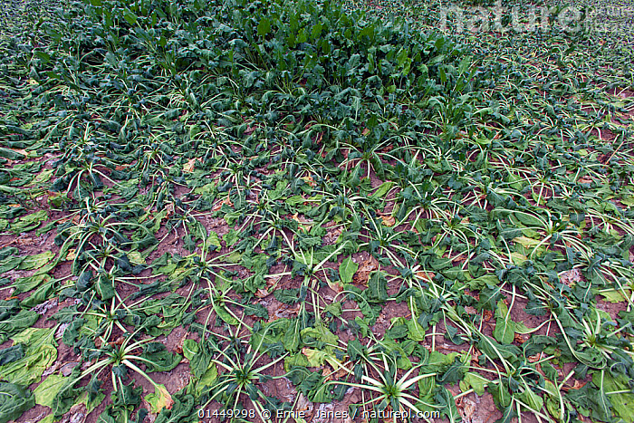 Sugar beet crop in August wilting in summer drought, Norfolk, August 2013.  ,  catalogue6,Plant,Vascular plant,Flowering plant,Dicot,Pigweed,Beet,Beet plant,Plantae,Plant,Tracheophyta,Vascular plant,Magnoliopsida,Flowering plant,Angiosperm,Seed plant,Spermatophyte,Spermatophytina,Angiospermae,Caryophyllales,Dicot,Dicotyledon,Caryophyllanae,Centrospermae,Amaranthaceae,Pigweed,Chenopodiaceae,Beta,Beet,Beta vulgaris,Beet plant,Common beet,Beetroot,Beta maritima,Beta crispa,Waiting,Thirsty,Thirst,Colour,Green,No One,Nobody,Months,August,Europe,Western Europe,UK,Great Britain,England,Norfolk,Full Frame,Arable Plant,Arable Plants,Crops,Produce,Cultivated,Cultivation,Cultivated Land,Drought,Weather,Outdoors,Open Air,Outside,Season,Seasons,Summer,Day,Backgrounds,Background,Farmland,Green colour,Edible,Crop,Crops,Vegetable,Vegetables,United Kingdom  ,  Ernie  Janes