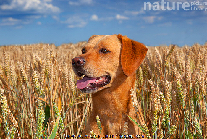 Yellow Labrador and in wheat field, Norfolk, August  ,  catalogue6,Plant,Vascular plant,Flowering plant,Monocot,Grass,Wheat,Canis familiaris,Plantae,Plant,Tracheophyta,Vascular plant,Magnoliopsida,Flowering plant,Angiosperm,Seed plant,Spermatophyte,Spermatophytina,Angiospermae,Poales,Monocot,Monocotyledon,Lilianae,Poaceae,Grass,True grass,Gramineae,Triticum,Wheat,Triticum aestivum,Common wheat,Bread wheat,Pant,Glance,Glances,Glancing,Look Away,Looks Away,Alertness,Alert,No One,Nobody,Europe,Western Europe,UK,Great Britain,England,Norfolk,Close Up,Portrait,Animal,Arable Plant,Arable Plants,Crops,Produce,Cultivated,Cultivation,Cultivated Land,Fields,Sky,Outdoors,Open Air,Outside,Summer,Day,Animal Behaviour,Thermoregulation,Panting,Domestic animal,Pet,Behaviour,Domestic Dog,Gun dog,Large dog,Labrador Retriever,Domestic animals,Farmland,Domesticated,Canis familiaris,Dog,Plants,United Kingdom  ,  Ernie  Janes