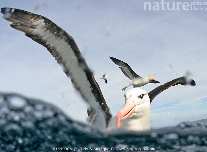 Black browed albatros (Thalassarche melanophrys), Cape Point, South Africa.  ,  catalogue6,Animal,Vertebrate,Birds,Tubenose,Albatross,Black browed albatross,Animalia,Animal,Wildlife,Vertebrate,Chordate,Aves,Birds,Procellariiformes,Tubenose,Tubinare,Seabird,Diomedeidae,Albatross,Thalassarche,Thalassarche melanophrys,Black browed albatross,Black browed mollymawk,Diomedea melanophris,Thalassarche melanophris,Diomedea melanophrys,Landing,Taking Off,Glance,Glances,Glancing,Look Away,Looks Away,Alertness,Alert,Few,Three,Group,No One,Nobody,Wet,Africa,Southern Africa,South Africa,Close Up,Unusual Angle,Beak,Beaks,Wing,Wings,Ocean,Atlantic Ocean,Outdoors,Open Air,Outside,Day,Marine,Split level,Water Surface,Saltwater,Sea,Wings spread,Wingspan,South African,Three Animals,Cape Point,Seabird,Seabirds,Marine bird,Marine birds,Pelagic bird,Pelagic birds,Endangered species,threatened,Endangered,,Personal Point of View,  ,  Chris & Monique Fallows