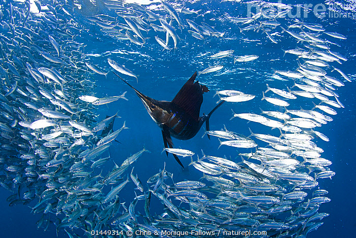 Indo Pacific Sailfish (Istiophorus platypterus) feeding on sardines (Sardina pilchardus), Isla Mujeres, Mexico, March.  ,  catalogue6,Animal,Vertebrate,Ray finned fish,Percomorphi,Marlin,Sailfish,Pacific sailfish,Sardines,Sardine,Animalia,Animal,Wildlife,Vertebrate,Chordate,Actinopterygii,Ray finned fish,Osteichthyes,Bony fish,Fish,Perciformes,Percomorphi,Acanthopteri,Istiophoridae,Marlin,Istiophorus,Sailfish,Istiophorus platypterus,Pacific sailfish,Indo Pacific sailfish,Japanese Sailfish,Peacock fish,Istiophorus dubius,Istiophorus brookei,Xiphias platypterus,Clupeiformes,Clupeidae,Sardina,Sardines,Pilcards,Sardina pilchardus,Sardine,Pilchard,European pichard,True sardine,Clupea harengus pilchardus,Alosa pilchardus,Arengus minor,Disorder,Disruption,Disturbance,Escape,Escapes,Escaping,Motion,Active,Movement,Lost,Colour,Blue,School,Many,Group,Large Group,No One,Nobody,Americas,Latin America,Central America,Mexico,Ocean,Atlantic Ocean,Marine,Underwater,Animal Behaviour,Feeding,Behaviour,Saltwater,Sea,Multitude,Mass,Silver Colour,Outnumbered,Isla Mujeres,Marine  ,  Chris & Monique Fallows