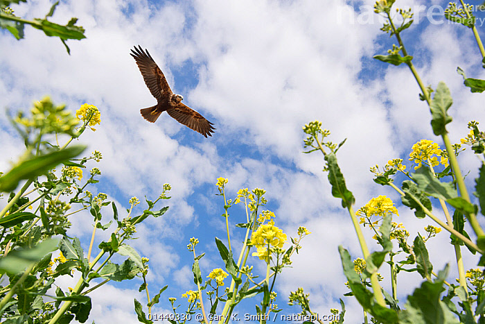 Marsh harrier (Circus aeruginosus) adult female circling over Oilseed rape crop, Norfolk, England, May. Digital composite.  ,  catalogue6,Plant,Vascular plant,Flowering plant,Rosid,Crucifer,Cruciferous vegetable,Oil seed rape,Animal,Vertebrate,Birds,Marsh harrier,Plantae,Plant,Tracheophyta,Vascular plant,Magnoliopsida,Flowering plant,Angiosperm,Seed plant,Spermatophyte,Spermatophytina,Angiospermae,Brassicales,Rosid,Dicot,Dicotyledon,Rosanae,Brassicaceae,Crucifer,Cabbage family,Mustard,Mustard flower,Cruciferae,Brassica,Cruciferous vegetable,Cabbage,Brassica napus,Oil seed rape,Rapeseed,Rape,Oilseed rape,Crucifera napus,Brassica rutabaga,Brassica praecox,Animalia,Animal,Wildlife,Vertebrate,Chordate,Aves,Birds,Accipitriformes,Accipitridae,Circus,Circus aeruginosus,Marsh harrier,Eurasian marsh harrier,Western marsh harrier,Threat,Menace,Menaces,Menacing,Threatening,Threats,Colour,Yellow,No One,Nobody,Europe,Western Europe,UK,Great Britain,England,Norfolk,Horizontal,Composite Image,Composite Images,Digital Composite,Low Angle View,Camera Focus,Selective Focus,Focus On Background,Focus On Backgrounds,Female animal,Caper Order,Mustard Family,Rape Plant,Rape Plants,Oilseed Rape,Oilseed Rape Plant,Oilseed Rape Plants,Arable Plant,Arable Plants,Crops,Produce,Cultivated,Cultivation,Flower,Wing,Wings,Sky,Cloud,Outdoors,Open Air,Outside,Day,Predator,Predators,Animal Behaviour,Predation,Behaviour,Ventral view,Underside,Wings spread,Wingspan,Shallow depth of field,Low depth of field,Crop,Crops,Vegetable,Vegetables,United Kingdom  ,  Gary  K. Smith