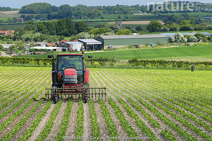 Tractor hoeing Sugarbeet (Beta vulgaris) with a front mounted hoe, showing surrounding countryside, church, and farm buildings, North Norfolk, England, UK, June 2013.  ,  PLANT,VASCULAR PLANT,FLOWERING PLANT,DICOT,PIGWEED,BEET,BEET PLANT,PLANTAE,PLANT,TRACHEOPHYTA,VASCULAR PLANT,MAGNOLIOPSIDA,FLOWERING PLANT,ANGIOSPERM,SEED PLANT,SPERMATOPHYTE,SPERMATOPHYTINA,ANGIOSPERMAE,CARYOPHYLLALES,DICOT,DICOTYLEDON,CARYOPHYLLANAE,CENTROSPERMAE,AMARANTHACEAE,PIGWEED,CHENOPODIACEAE,BETA,BEET,BETA VULGARIS,BEET PLANT,COMMON BEET,BEETROOT,BETA MARITIMA,BETA CRISPA,EUROPE,WESTERN EUROPE,WEST EUROPE,UK,BRITAIN,GREAT BRITAIN,UNITED KINGDOM,SCOTLAND,HORIZONTAL,PLANTS,VEGETATION,ARABLE PLANT,ARABLE PLANTS,CROPS,PRODUCE,CULTIVATED,CULTIVATION,FARMS,ARABLE FARMS,AGRICULTURAL LANDS,CULTIVATED LAND,LANDSCAPE,LANDSCAPES,SCENIC,FARMLAND,SCOTTISH ISLANDS,SCOTTISH ISLES,EDIBLE,CROP,CROPS,VEGETABLE,VEGETABLES  ,  Gary  K. Smith