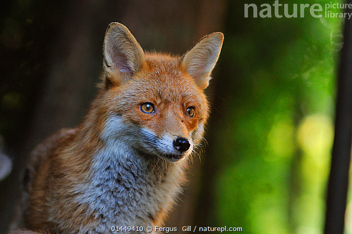 Red Fox (Vulpes vulpes) portrait in an urban area. Glasgow, Scotland. May., catalogue6,Animal,Vertebrate,Mammal,Carnivore,Canid,True fox,Red fox,Animalia,Animal,Wildlife,Vertebrate,Chordate,Mammalia,Mammal,Carnivora,Carnivore,Canidae,Canid,Vulpes,True fox,Vulpini,Caninae,Vulpes vulpes,Red fox,Alertness,Alert,No One,Nobody,Europe,Western Europe,UK,Great Britain,Scotland,Strathclyde,Glasgow,Portrait,Ear,Animal Ears,Ears,Settlement,City,Outdoors,Open Air,Outside,Day,Ears Pricked,United Kingdom,,urban,, Fergus  Gill
