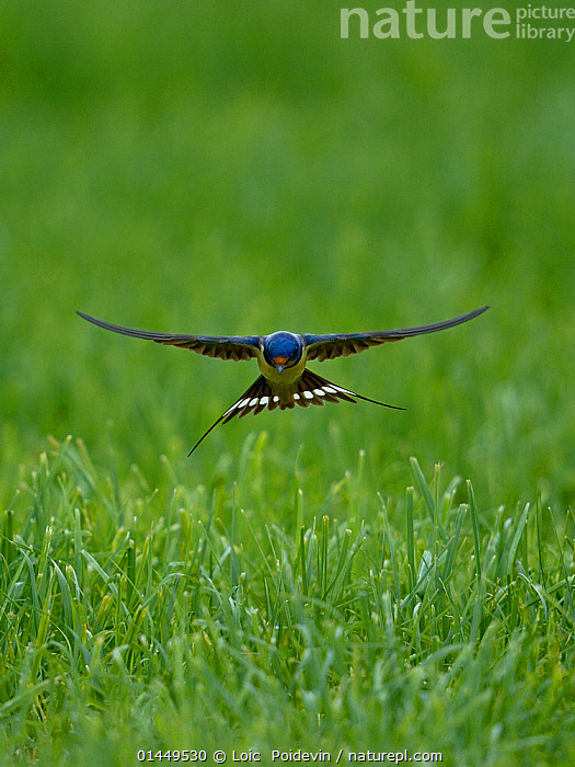 Barn swallow (Hirundo rustica) flying low over the ground, Indre-et-Loire , France, June., catalogue6,Animal,Vertebrate,Birds,Songbird,Swallow,Barn swallow,Animalia,Animal,Wildlife,Vertebrate,Chordate,Aves,Birds,Passeriformes,Songbird,Passerine,Hirundinidae,Hirundo,Swallow,Barn swallow,Flying,Landing,Agility,Agile,Balance,Determination,Focus,Ease,Easy,Symmetry,No One,Nobody,Europe,Western Europe,France,Close Up,Front View,View From Front,Plant,Grass Family,Grass,Grasses,Feather,Feathers,Wing,Wings,Outdoors,Open Air,Outside,Day,Animal Behaviour,Predation,Hunting,Behaviour,Flight,Wings spread,Wingspan,Tail Feather,Focused,Indre et Loire,Plants, Loic  Poidevin