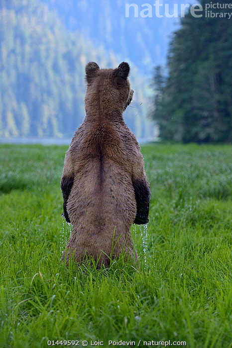 Female Grizzly bear (Ursus arctos horribilis) standing up, rear view,  Khutzeymateen Grizzly Bear Sanctuary, British Columbia, Canada, June.  ,  catalogue6,Animal,Vertebrate,Mammal,Carnivore,Bear,Brown Bear,Grizzly bear,Animalia,Animal,Wildlife,Vertebrate,Chordate,Mammalia,Mammal,Carnivora,Carnivore,Ursidae,Bear,Ursus,Ursus arctos,Brown Bear,Standing Up,Standing,Glance,Glances,Glancing,Look Away,Looks Away,Alertness,Alert,No One,Nobody,Wet,Americas,North America,Canada,British Columbia,Rear View,Back,From Behind,Female animal,Liquid,Liquids,Droplet,Dripping,Drips,Drop,Droplets,Drops,Outdoors,Open Air,Outside,Day,Grizzly bear,Protected area,Standing on hind legs  ,  Loic  Poidevin