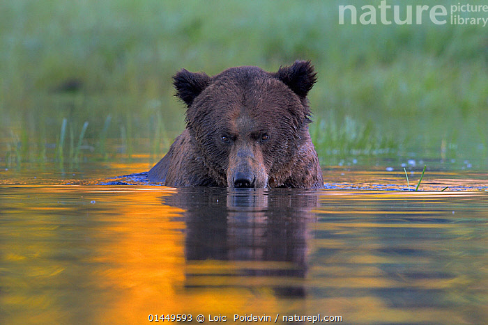 Female Grizzly bear (Ursus arctos horribilis) in water, Khutzeymateen Grizzly Bear Sanctuary, British Columbia, Canada, June.  ,  catalogue6,Animal,Vertebrate,Mammal,Carnivore,Bear,Brown Bear,Grizzly bear,Animalia,Animal,Wildlife,Vertebrate,Chordate,Mammalia,Mammal,Carnivora,Carnivore,Ursidae,Bear,Ursus,Ursus arctos,Brown Bear,Colour,Yellow,No One,Nobody,Frown,Frowns,Scowl,Scowling,Scowls,Americas,North America,Canada,British Columbia,Close Up,Portrait,Female animal,Reflection,Flowing Water,River,Outdoors,Open Air,Outside,Day,Freshwater,Lake,Pond,Grizzly bear,Protected area,Direct Gaze,Fed up,Bad mood,Sanctuary  ,  Loic  Poidevin